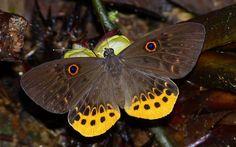 Juturna Underleaf(Eurybia juturna) photographed by Andrew Nield in the Nagaritza Valley, SE Ecuador