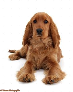 red-english-cocker-spaniel-white-background-1113328382.jpg (550×694)