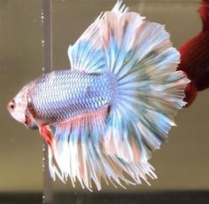 Live Betta Tropical Fish - Imported Steel Grizzle HM Male