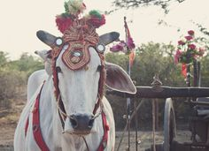Cow in Bagan, Myanmar (Burma)