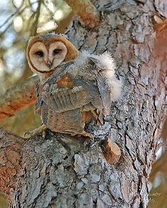 A young owl fledged from a Hungry Owl Project owl box in Novato uses its sharp talons to walk up a tree trunk. Hungry Owl Project, an offshoot of San Rafael's WildCare, sets up landowners with owl boxes. Photo by Don Freundt
