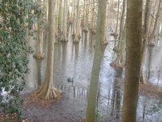 Sumter, SC : Swan Lake in Sumter, SC.  South Carolina has some beautiful swamp lands..Swan Lake for example
