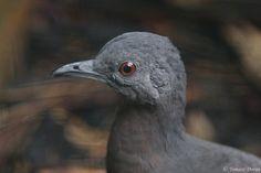 13-Crypturellus obsoletus(Brown Tinamou, An adult bird head.)