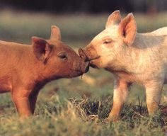 Pigs are smart, gentle and loving animals. and SO precious. I hope to be a pig mom one day. TIll then I'll look at cute pictures of little pigs for fun =) Baby Pigs, Pet Pigs, Beautiful Creatures, Animals Beautiful, Farm Animals, Cute Animals, Animals Kissing, Mini Pigs, Cute Piggies