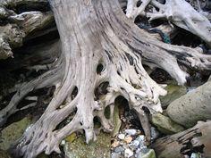 Sea-worn Tree stump roots