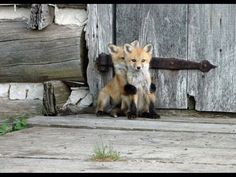 Baby fox. I love how the one in back is using his sibling as a shield. Like eat him not me lol.