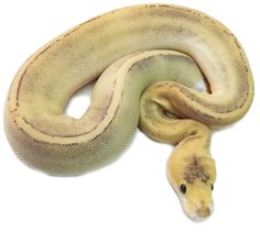 Buy Fire Champagne Ball Pythons Online. For Sale with Same Day Shipping.