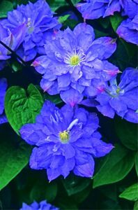 T&T Seeds Ltd - clematis blue explosion