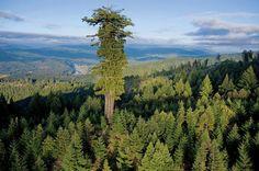 Mendocino Tree – 112.20 m - Montgomery Woods