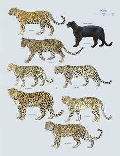 Leopard subspecies