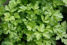 A step by step guide for growing parsley from cuttings, seeds, planting, care and harvesting procedure. It also covers growing parsley in pots, indoors. Hydroponic Gardening, Organic Gardening, Gardening Tips, Herb Seeds, Garden Seeds, Vitamin C, Herb Garden Kit, Plantar, Growing Herbs