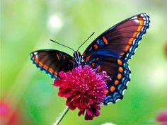 Mariposa Santa Bárbara  http://www.labioguia.com/notas/15-mariposas-unicas-y-hermosas