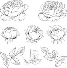 Discover thousands of Premium vectors available in AI and EPS formats Flower Drawing Tutorials, Flower Sketches, Art Tutorials, Art Sketches, Botanical Drawings, Botanical Art, Peony Illustration, Nature Sketch, Floral Drawing