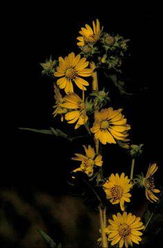 ZERSCHLING: New Sioux City city flower's roots run deep in the prairie