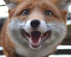 Pudding the fox 24/02/2015 Pudding hits back at suggestions her popularity is sliding to the other vixens and dog fox in our care