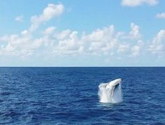Photo © Moana Matron Designs - A beautiful Humpback Whale breach off Cape Moreton, Queensland Australia.