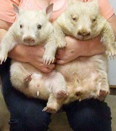 Albino wombat - photo#23