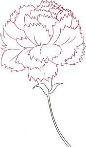 How to Draw a Carnation, Step by Step, Flowers, Pop Culture, FREE Online Drawing Tutorial, Added by Dawn, March 1, 2009, 7:04:23 am