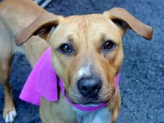 SAFE --- Manhattan Center    ELSA - A0997807    FEMALE, TAN / WHITE, PIT BULL MIX, 1 yr  STRAY - STRAY WAIT, NO HOLD  Reason STRAY   Intake condition NONE Intake Date 04/25/2014, From NY 11418, DueOut Date 04/28/2014,   https://www.facebook.com/photo.php?fbid=793987370614144&set=a.617938651552351.1073741868.152876678058553&type=3&permPage=1