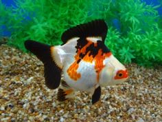 tri color short tail ryukin