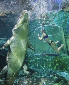 By (ed: Franny Plumridge) Swims in a glass cage next a 17 foot crocodile at Crocosaurus Cove in Darwin, in Australia. caters news This woman is only a thin sheet of plastic away from being a saltwater crocodile's tasty treat. Darwin Australia, Australia Animals, Australia Funny, Crocodile Marin, Saltwater Crocodile, Animal Magic, Salt And Water, Sea World, Phuket