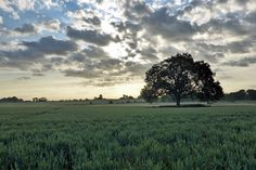 Lincolnshire, England, July 2015. Another gratuitous image of one of my favourite trees with a spot of cloudy sky in the background. Early morning, near Belleau village.