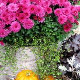 Mums in Birchbark Covered Container