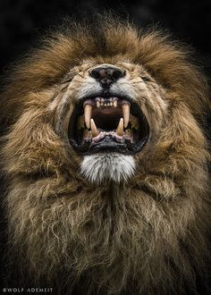 Wild - Lion - Animal Photography by Wolf Ademeit Nature Animals, Zoo Animals, Animals And Pets, Cute Animals, Fierce Animals, Exotic Animals, Beautiful Cats, Animals Beautiful, Grand Chat
