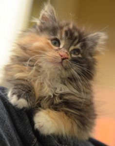 A little beauty like this is waiting to come and join my little furry feline family!