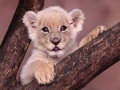 Les jeunes lionceaux ont des taches sombres sur l'ensemble du corps, mais qui disparaissent au cours de la première année ; sauf dans de très rares cas où elles restent même sur le pelage du lion a...