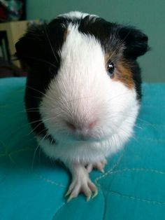 My awesome guinea pig!!!