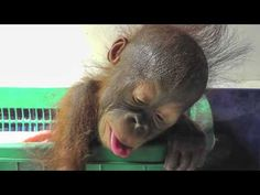 BABY ORANGUTAN - YouTube