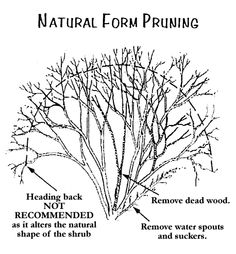 Article Pruning With A Purpose Plants Tree Deciduous Trees Flowering