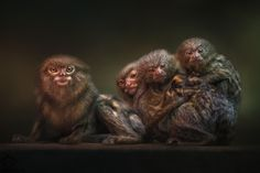Family photo - The family is a haven in a heartless world (Christopher Lasch)!  The Pygmy marmosets (Cebuella pygmaea) are the smallest marmosets and one of the smallest of all primates. They live mostly in the rainforests of South America with a few in southeast Africa.  The tiny, expressive face  of this New World monkey is set inside a halo of gold-tinged, salt-and-pepper fur. These agile primates are extremely curious and always busy - you'll be charmed :o). These little beings live in…
