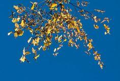 'Birke im späten Herbst' von Heidrun Lutz bei artflakes.com als Poster oder Kunstdruck $18.03