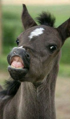 This foal is about to winnie - Horses Funny - Funny Horse Meme - - So funny! This foal is about to winnie The post So funny! This foal is about to winnie appeared first on Gag Dad. Funny Horse Memes, Funny Horses, Cute Horses, Pretty Horses, Horse Love, Beautiful Horses, Animals Beautiful, Horse Humor, Beautiful Cats