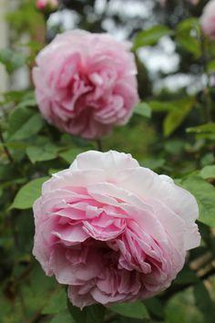 Bourbon Old Garden Rose 'Madame Ernest Calvat' - a sport (mutation) of 'Madame Isaac Pereire' introduced in 1888 by Joseph Schwartz of Lyon, France