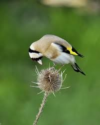 Image result for birds with seed heads images