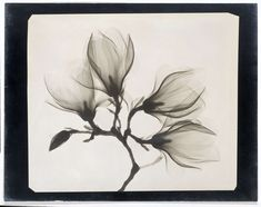 Magnolia Branch with Four Flowers, anonymous, 1910 - 1925