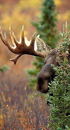 Peek A Boo Moose (Alces alces). Wild Life, Beautiful Creatures, Animals Beautiful, Cute Animals, Majestic Animals, Photo Animaliere, Tier Fotos, Fauna, Nature Animals