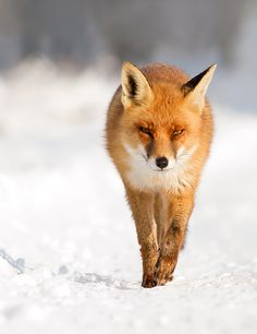 """Fantastic Red Fox Photography - My Modern Metropolis   Roeselien Raimond: """"With foxes, every day is a surprise, which makes photographing them both extremely frustrating and highly exciting. And it's what keeps me coming back for more."""""""