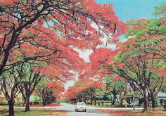 """Pinner says, """"Flamboyant trees in Blakiston Avenue, in my old hometown Salisbury, Rhodesia as it was when this picture was taken Now Harare, Zimbabwe. Delonix Regia, Zimbabwe History, Zimbabwe Africa, Beautiful World, Beautiful Places, Victoria Falls, Tourism, National Parks, Scenery"""