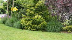 gold juniper with prairie dropseed and lillies Garden Shrubs, Garden Landscaping, Landscaping Ideas, Gold Mop Cypress, Landscape Design, Garden Design, Hinoki Cypress, Formal Gardens, Garden Borders
