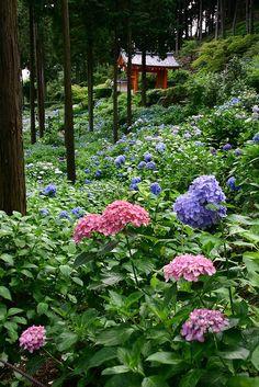 Hydrangea at Mimurotoji Garden in Uji, Kyoto, Japan