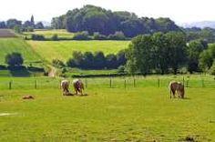 Paarden grazen op de weilanden in het heuvellandschap in Zuid-Limburg.