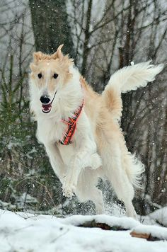 Hound Dogs Running Russian Cat Breeds, Russian Dogs, Thranduil, I Love Dogs, Cute Dogs, Russian Wolfhound, Tallest Dog, Animal Action, Cute Dog Pictures
