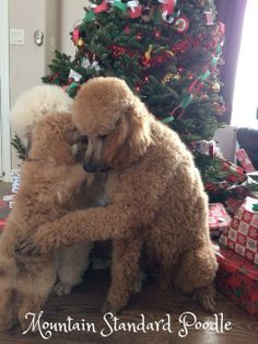 Mountain Standard Poodle-High quality standard poodle puppies for sale, Red, Blue, Silver, Apricot standard poodle puppies for sale