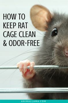 Pet rats require a clean and fresh cage to be happy and healthy. Here's how to clean the rat cage and keep it odor-free for your rats to enjoy their lovely home. Add these daily and weekly cage cleaning activities to your to-do list! Hamsters, Pet Rodents, Pet Rats, Rat Cage Diy, Pet Rat Cages, Diy Rat Toys, Diy Rodent Toys, Dog Toys, Rat Cage Accessories