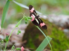 Foto feita em São José do Rio Pardo, SP, em Fevereiro de 2014. #borboleta #butterfly