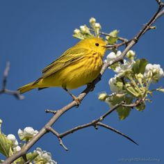 https://flic.kr/p/UqQDJw | Yellow Warbler (Paruline jaune) | Images taken by hoan luong is licensed under a Creative Commons Attribution-NonCommercial-NoDerivs 3.0 Unported License.